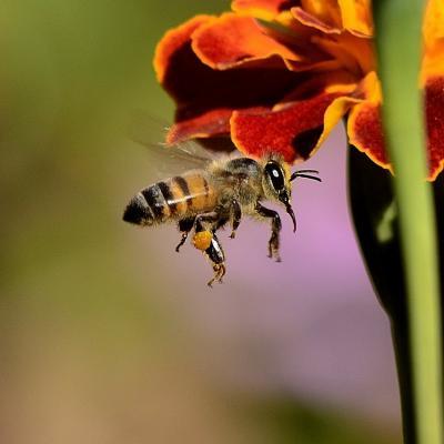 Bee 259983 1280